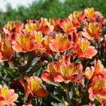 alstroemeria-indian-summer-tesronto