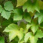 parthenocissus-tricuspidata-minutifolia